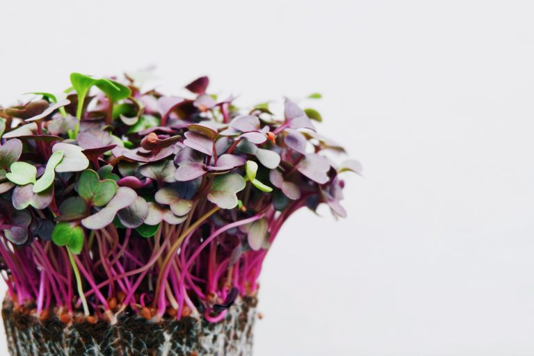 Fashionable microgreens provide taste you'll be able to develop at dwelling