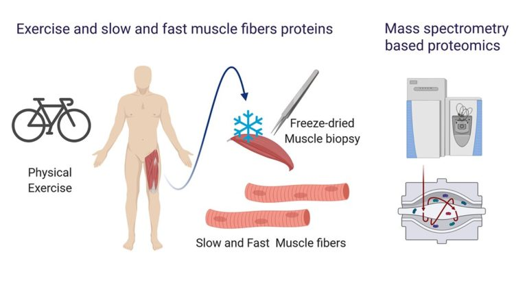 New expertise reveals quick and gradual twitch muscle fibers reply in a different way to train